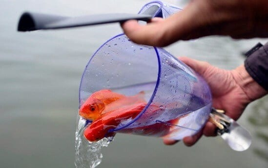 thả cá chép về trời cúng ông táo